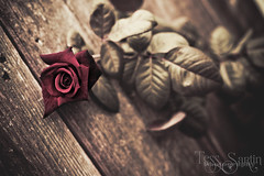 Dark Rose photo by Tess Sartin