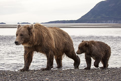 Brown Bears at Katmai photo by Critter Seeker