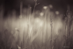 Where the Long Grass Blows photo by Thousand Word Images by Dustin Abbott
