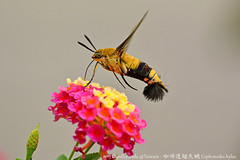 咖啡透翅天蛾 Coffee bee hawk-moth (Cephonodes hylas) - a flying shrimp. photo by Capelle Panda -- Be happy!