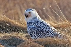 Snowy owl eating a rabbit photo by cheryl.rose83