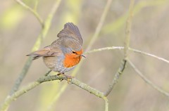 Robin May Attempt The Grand Canyon Next Year - But For Now This Branch Will Do.... photo by Osgoldcross Photography
