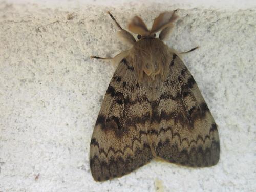 papillon nocturne le Zigzag ou Le Bombyx disparate ou la Spongieuse (3)