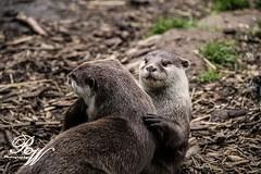 otter photo by rachaelwatsonphotography