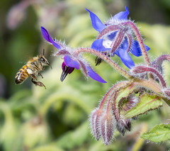 Borage and The Bee photo by charles25001