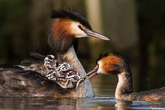 Fuut - Great Crested Grebe - Podiceps Cristatus photo by wimzilver