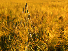 Common wild Oat in the Wheat Field photo by Batikart