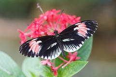 Piano Key Butterfly photo by Bob Decker