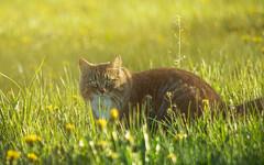 """Random street-cat photo by """" Ajnagraphy """" (János Csongor Kerekes)"""