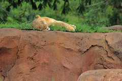 the lion sleeps tonight photo by Jwaan