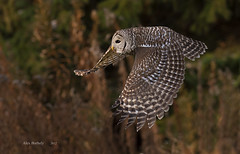 BARRED OWL 13 photo by AIR BUS