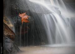 La fulla de la Mònica... photo by Felip Prats