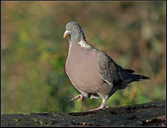 ~ Common Wood Pigeon (Columba palumbus) ~ photo by JoPo Time Out
