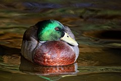 Mallard colours photo by Rivertay07 - thanks for over 2 million views