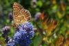 papillon Le Damier de la Succise ou l'Artémis - Euphydryas aurinia Rott (4)