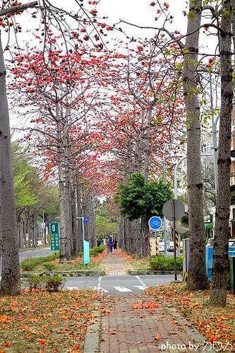 001_台南東豐路木棉花