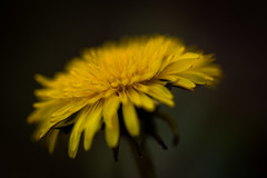 Dandelion in Bokeh photo by Drachenfanger