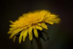 Dandelion in Bokeh photo by Drachenfanger