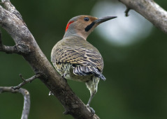 Northern Flicker photo by John Picken