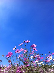 blue sky & cosmos photo by Kanko*
