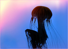 Jellyfish Rising photo by zuni48