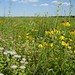 Midewin prairie in bloom (Photo by Jerry Heinrich)