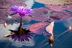 Waterlilies photo by benshell