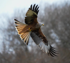 Red Kite photo by Photo Crazy Rob