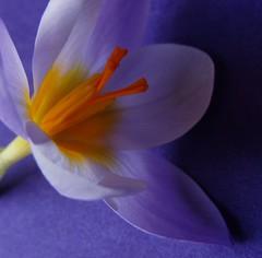 Feb2014 022 Species Crocus. Early flowering. photo by monica_meeneghan