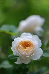 Crocus Rose photo by myu-myu
