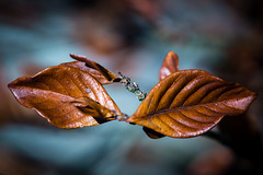 A pair leafs swimming photo by Drachenfanger