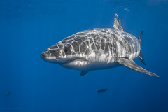Great white shark with sun rays photo by George Probst