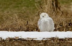 Snowy owl photo by snooker2009