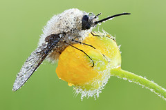 Bombylius-Major (Grosser Wollschweber) -II- photo by Siegfried Tremel
