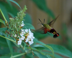 Look What Finally Showed up in My Garden! Hemaris Thysbe photo by ♥ Mary Moore