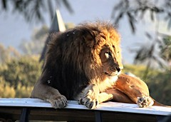 African Lion -  Izu photo by Pix.by.PegiSue -Thx 4 over 1.7M+ views! ~albums~