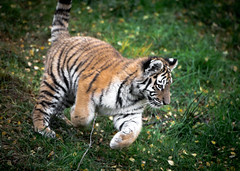 A playful Siberian tiger cub at Highland Wildlife Park photo by Digisnapper