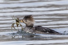 HOODED MERGANSER w/CRAYFISH photo by nsxbirder