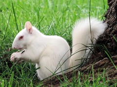 Albino Squirrel photo by rabidscottsman