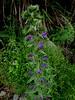 Vipérine commune, Echium vulgare