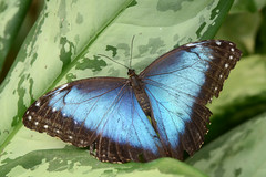 Blue Morpho photo by Rene Mensen