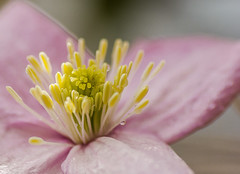 Clematis Close-up photo by Christopher Combe Photography