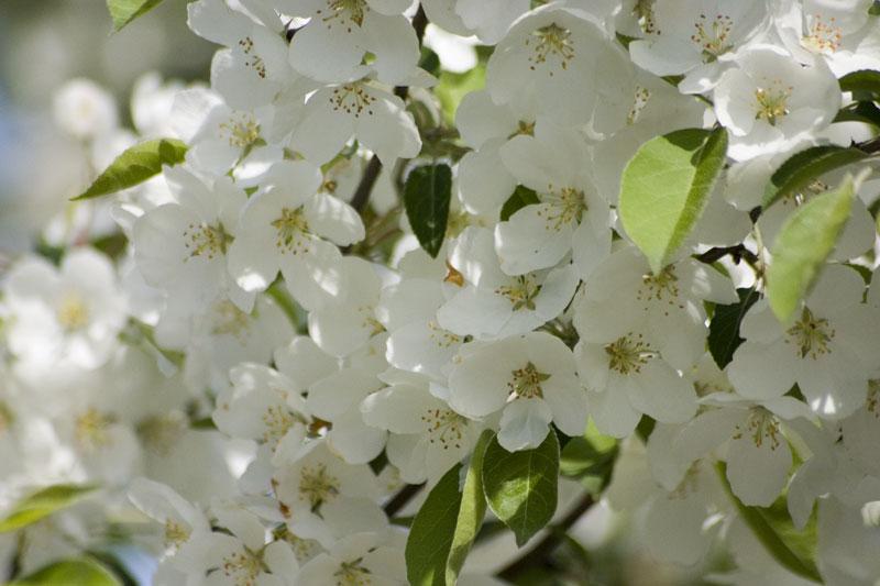 Apple tree flowering
