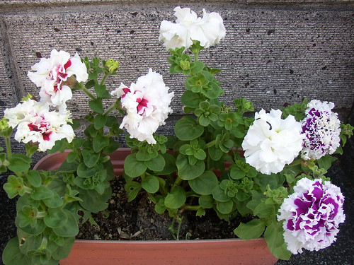 fancy petunias