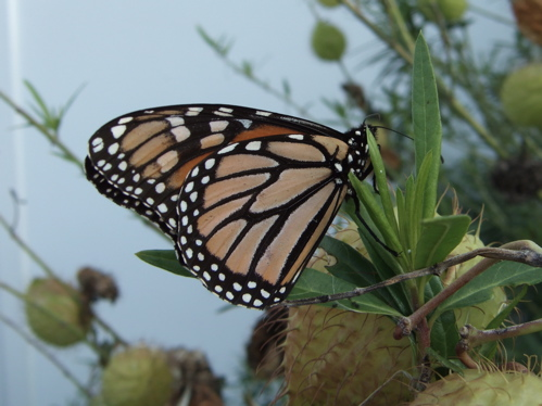 monarch butterfly back wing