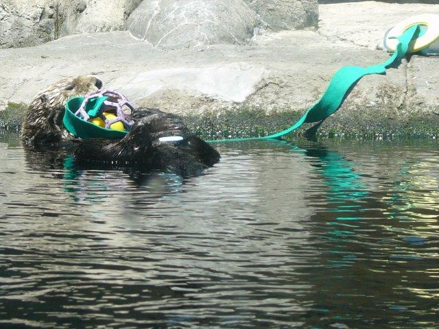 Sea Otter Playing