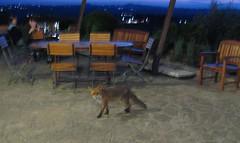 Wild fox visits restaurant
