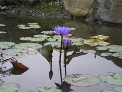 生態池, 美麗的香水蓮花