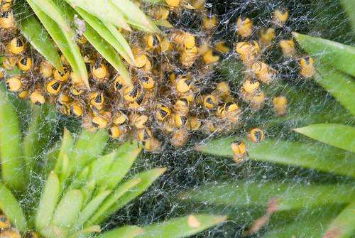Spinnetjes