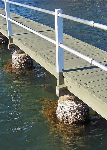 Rock oysters at the Rawson Road jetty Woy Woy